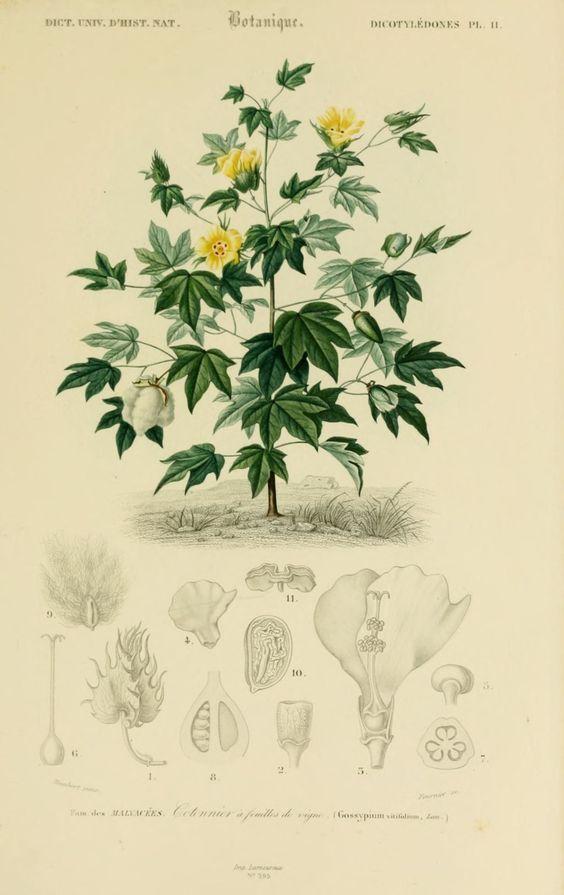 coton dessin botanique 002
