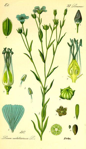 lin dessin botanique 002